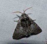 Saddled yellowhorn moth (Colocasia flavicornis), #9184