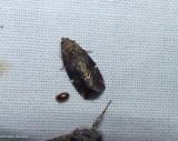 Variegated midget moth (Elaphria versicolor), #9678