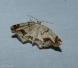 Probole moth (Probole)
