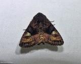 American angle shades (Euplexia benesimilis),  #9545