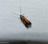 Linnaeus's spangle-wing moth (Chrysoclista linneella), #1463