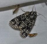 Night-wandering dagger moth (Acronicta noctivaga), #9259