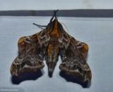 Masham Moths