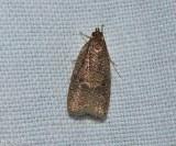 Dotted leaftier moth  (Psilocorsis reflexella), #0957