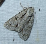 Pleasant dagger moth (Acronicta laetifica), #9229
