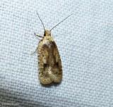 Twirler moth (Agonopterix flavicomella), #0880