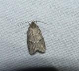 Twirler moth (Bog bibarrambla), #0011