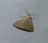 Brown lined owlet moth (Macrochilo litophora), #8358