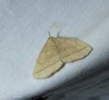 Early fanfoot moth (Zanclognatha cruralis), #8351