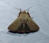 False wainscot moth (Leucania pseudargyria), #10462