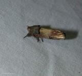 Chestnut schizura moth (Schizura badia ), #8006