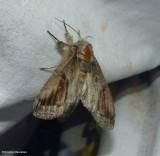 Oblique heterocampa moth (Heterocampa obliqua), #7983
