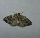 White eulithis moth (Eulithis explanata), #7206