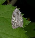 White blotched balsa moth (Balsa labecula), #9664