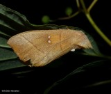 White-dotted prominent moth  (Nadata gibbosa), #7915