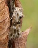 Toadflax brocade moth  (Calophasia lunula), #10177
