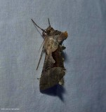 Large looper moth  (Autographa ampla), #8923