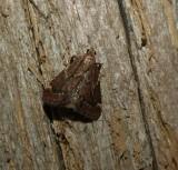 Red-shawled moth (Hypsopygia intermedialis)  #5526