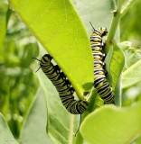 Monarch butterfly caterpillars  (Danaus plexippus)