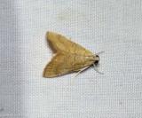 White-roped glaphyria moth (Glaphyria sesquistrialis),  #4870
