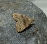 Dark phalaenostola moth  (Phalaenostola eumelusalis), #8363