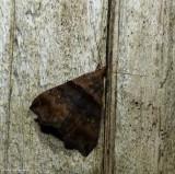 Ambiguous moth  (Lascoria ambigualis),  #8393