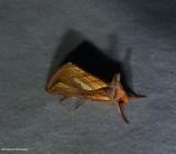 Connected looper moth (Plusia contexta),  #8952