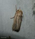 Leucania moth (Leucania commoides), #10447