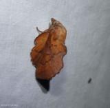 American lappet moth (Phyllodesma americana), #7687