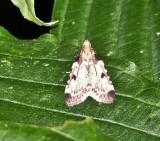 Pyralid moth (Aglossa costiferalis), #5511