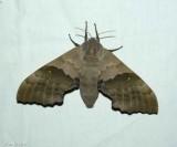 Modest sphinx  (Pachysphinx modesta), #7828