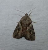 Charming underwing moth (Catocala blandula), #8867