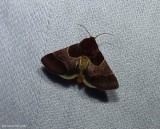 Arcigera flower moth (Schinia arcigera), #11128