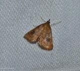 Mint root borer moth  (Fumibotys fumalis), #4950