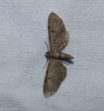 Wormwood pug moth (Eupithecia absinthiata), #7586.1