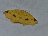 Variable antepione moth, female (Antepione thisoaria), #6987