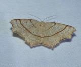 Oak besma moth  (Besma quercivoraria), #6885