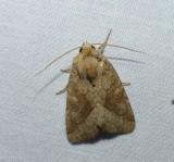 Bridled arches moth (Lacinipolia lorea), #10405