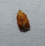 Four-lined leafroller moth (Argyrotaenia quadrifasciana), #3621