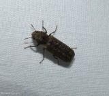 Auger beetle (Lichenophanes bicornis)