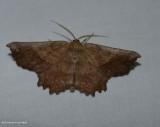 Euchlaena moth (Euchlaena muzaria), #6725