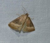 Common pinkband moth  (Ogdoconta cinereola), #9720