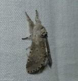 Gray furcula moth (Furcula cinerea), #7937