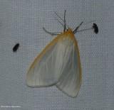 Delicate cycnia moth (Cycnia tenera) #8230