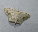Large lace border moth (Scopula limboundata), #7159