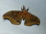 Polyphemus moth  (Antheraea polyphemus), #7757
