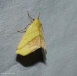 Sharp-lined yellow moth   (Sicya macularia), #6912