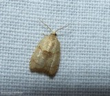 The batman moth (Coelostathma discopunctana), #3747