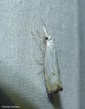 Small white-grass-veneer moth  (Crambus albellus), #5361