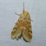 Spotted tussock moth (Lophocampa maculata), #8214